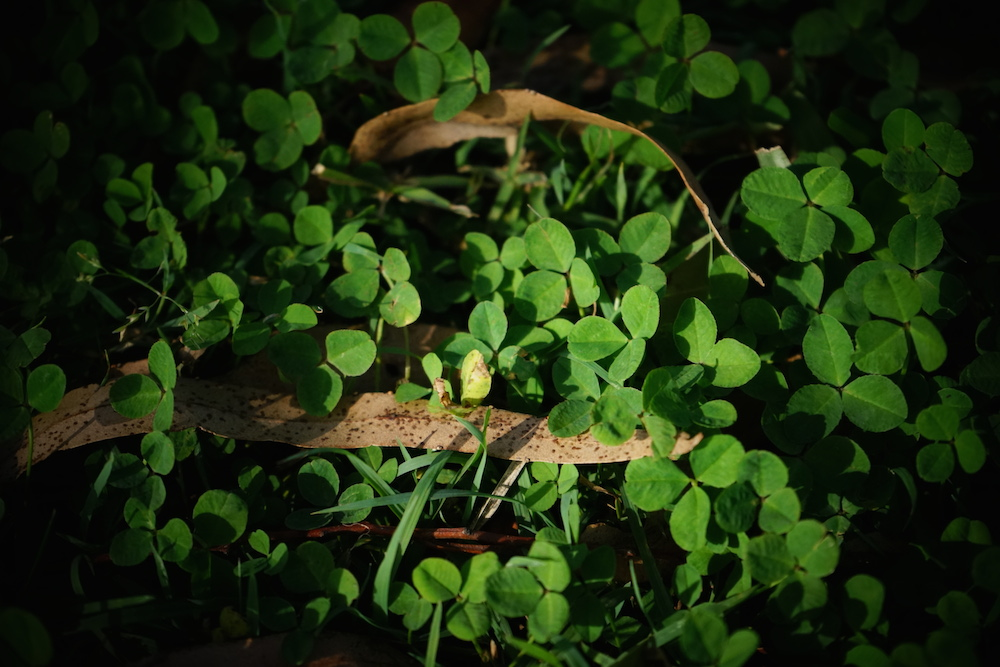 Clover and leaves